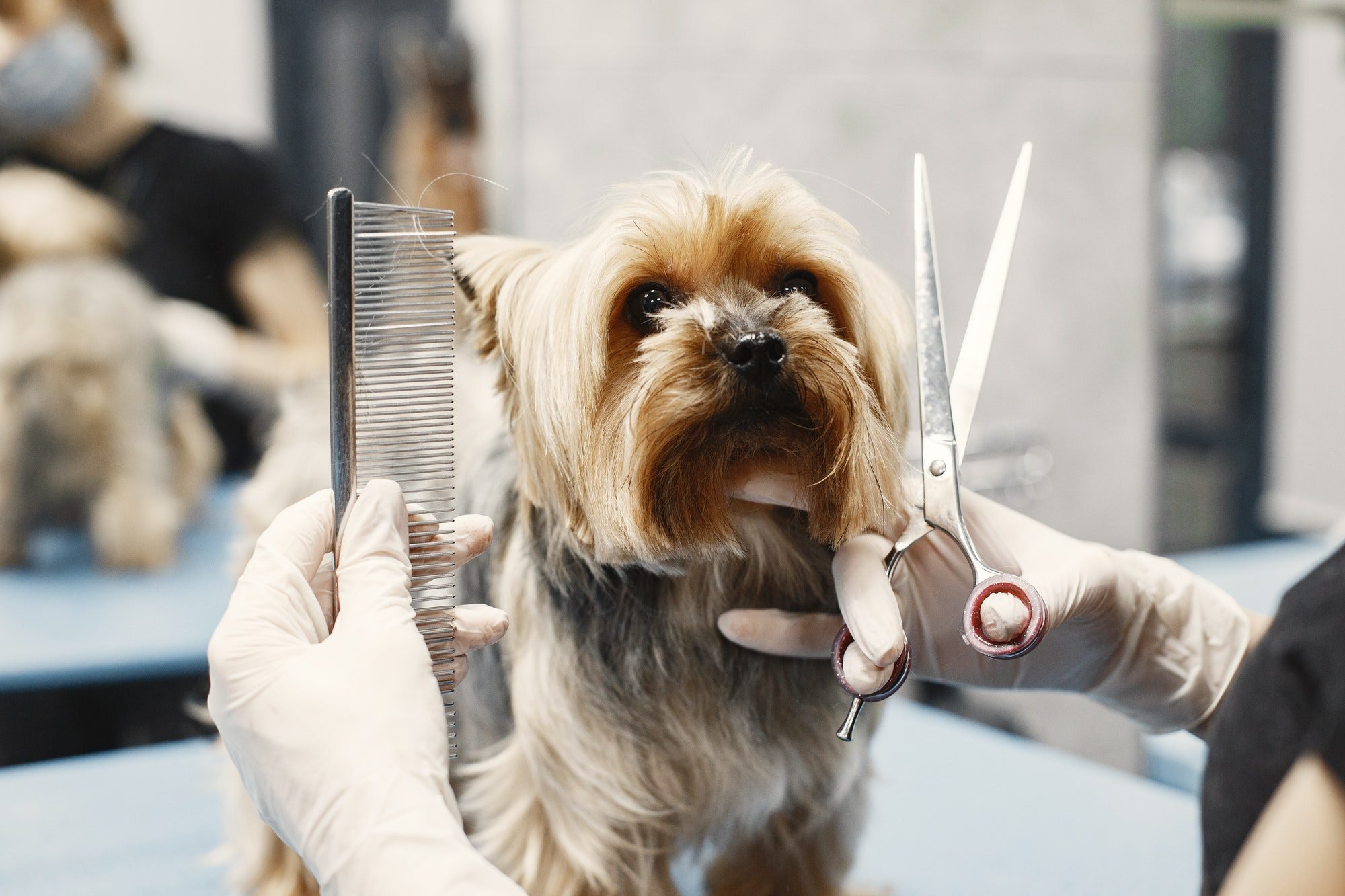 Haircut for dog breed Yorkshire Terrier